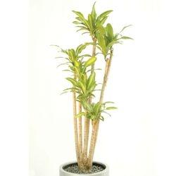 Massangeana - Corn Plant