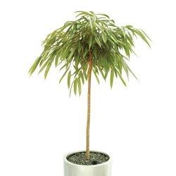 Ficus Alii Lollie Plain Stem