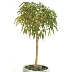 Ficus Alii Twisted Stem