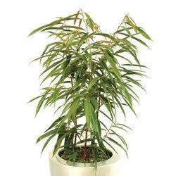Ficus Alii Bush