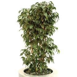 Ficus Benjamina Vivian Bush