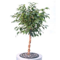 Ficus Benjamina Braided Stem