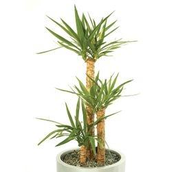 Yucca  3 stem