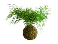 Moss Ball With Asparagus Fern