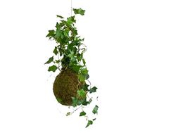Moss Ball With Hedera Ivy