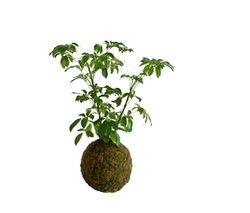 Moss Ball With Umbrella Tree Plant