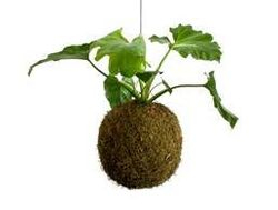 Moss Ball With Philodendron Selloum