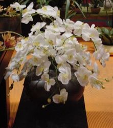 Orchid White Bush