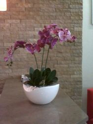 Pink Orchid in Kintra Bow