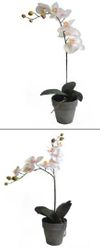 Phalaenopsis Plants in Pots