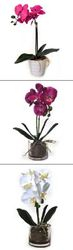 Small Phalaenopsis in pot