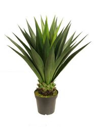 Plant large Agave 1m