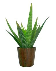 Plant small Agave Green-Grey