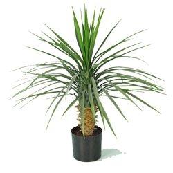 Plant medium Yucca Rostrata