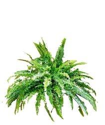 Plant medium Fern Boston