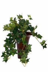 Bush Ivy Curved