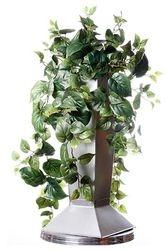 Bush Phylledendron