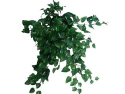 Bush Pothos Ivy