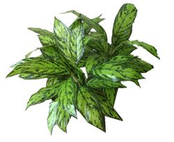 Plant medium Anlonema Bush
