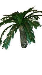 Cycad Fern Tree