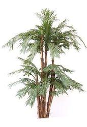 Cycas Palm Multistem