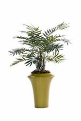 Plant samll Dwarf Palm