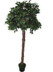 Ficus Tree  Green