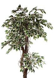 Ficus Celeste Variegated Tree