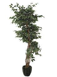 Ficus Tree Bushy