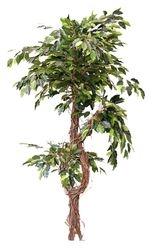 Ficus Celest Tree