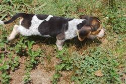 beagle male $75
