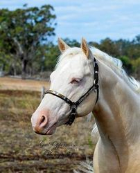 LND Platinums White Night BB's sire head shot