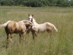 Splash PHAA (right) BB AQHA on the left hangning out