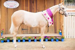 Splashy 10 mths old PHPA Qld show 2015 Yearling Futurity winner