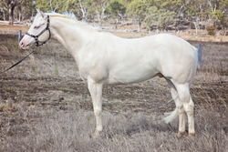 Splashy's Sire LND Platinums White Night 5 weeks before he died suddenly from a snake bite