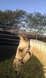 Tassie, testing out a new show halter