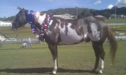 Alphy Supreme champ Paint Toowoomba Royal show 2014, champ paint gelding, Res Pinto Gelding, plus more