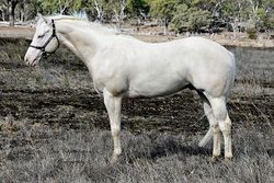 LND Platinums White Night (Harry's sire) Side shot