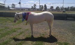 Barney, Supreme Champ led White Horse, Qld Dilute Champs 12