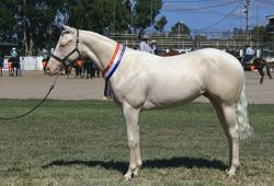 Barney, Warwick Show 12, Supreme champion Dilute and Quarter Horse Exibit