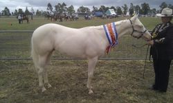 Barney at Oakey Show March 12, he came home with 2 supremes, 3 champions, 5 firsts from 5 classes.