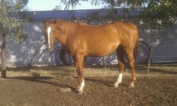 Dawn, Sparky's Dam 190114 this year in foal to LND Platinums White Night