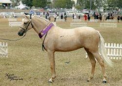 Dunlea Melody, champion jnr Aust Pony