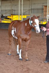 Montana, is bred to LND Platinums White Night for an October 14 foal