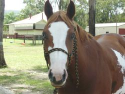 Snoopy's Montana Rose, 2012 Qld Res State champion Pinto mare over 14hh