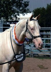 Dunlea White Oaks is having 2013/14 off breeding and going back to the show ring for a season.