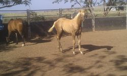Tazzie, Weaning Day 1 12hh high, 4 mths old