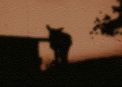Carriacou (Binghi Donkey)