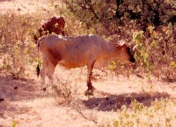 Carriacou (Cow)