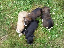 De 4 puppies